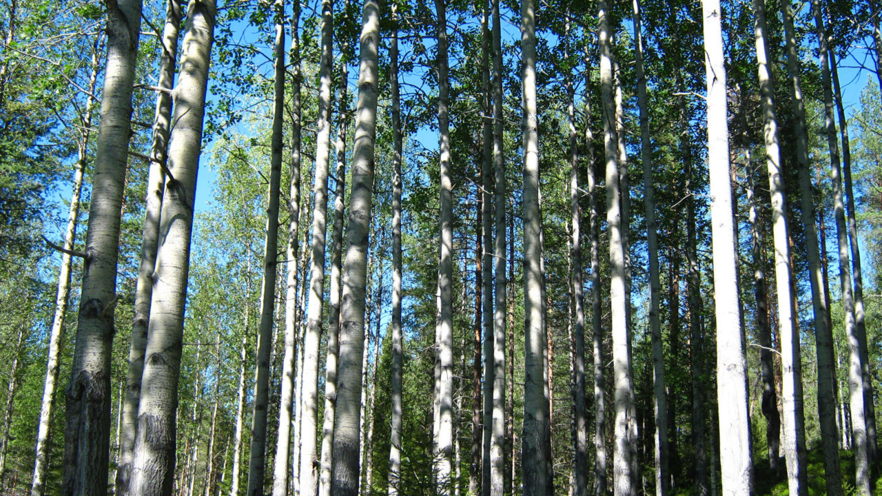 Ask träd
